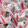 bilocerveny tulipan marilyn 6