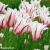 bilocerveny tulipan marilyn 7
