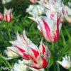 bilocerveny tulipan marilyn 8