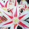 bilocerveny tulipan marilyn 9
