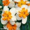 bílooranžový narcis split parisienne 4