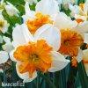 bílooranžový narcis split parisienne 5