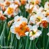 bílooranžový narcis split parisienne 7