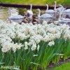 bílý plnokvětý narcis sir winston churchill 4