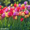 Tulip Cottage mix 2