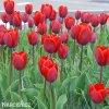 Tulipán Couleur cardinal 4