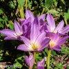 fialový ocún obrovský colchicum giganteum 2
