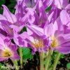 fialový ocún obrovský colchicum giganteum 3