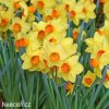 Narcis Red Devon 2