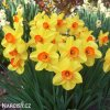 žlutooranžový narcis red devon 4