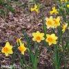 žlutooranžový narcis red devon 7