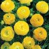 Ranunculus yellow 01