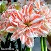 Hvězdník - Amaryllis  Dancing Queen
