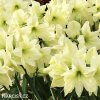 žlutý hvězdník amaryllis fantasy 4