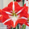 červenobílý hvězdník amaryllis stargazer 4