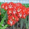 červenobílý hvězdník amaryllis stargazer 5