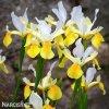 žlutobílý kosatec iris apollo hollandica 2
