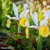 žlutobílý kosatec iris apollo hollandica 4
