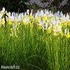 žlutobílý kosatec iris apollo hollandica 5