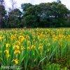žlutý kosatec iris golden beauty 2