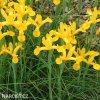žlutý kosatec iris golden beauty 3