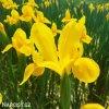 žlutý kosatec iris golden beauty 5