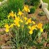 žlutý kosatec iris golden beauty 6