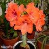 oranžový hvězdník amaryllis orange souvereign 3
