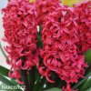 Hyacint Red Glory 2