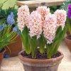 hyacint apricot passion 4