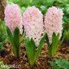 hyacint apricot passion 5