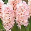 hyacint apricot passion 1