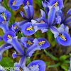 modrý kosatec iris harmony reticulata 2
