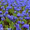 Iris harmony reticulata 3