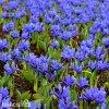 modrý kosatec iris harmony reticulata 3