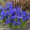 modrý kosatec iris harmony reticulata 5
