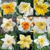 narcisy směs orchideokvětých split 2