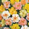 narcisy směs orchideokvětých split 4