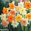 Narcis Split Corona mix 10