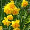 žlutý plnokvětý narcis apotheose 2