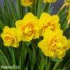žlutý plnokvětý narcis apotheose 4
