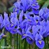 modrý kosatec iris harmony reticulata 1