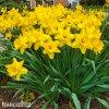 žlutý narcis gigantic star 4