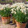 bílooranžový narcis geranium 3