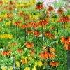 Rebcik Fritillaria Mix 1