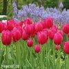 ruzovy trepenity tulipan burgundy lace 3