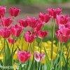 ruzovy trepenity tulipan burgundy lace 5