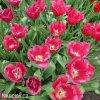 ruzovy trepenity tulipan burgundy lace 7