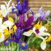 Iris mix hollandica 2