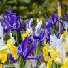 Iris mix hollandica 5